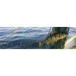Kutseline kalur